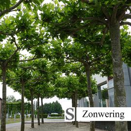 Parsolbomen-met-grote-bladeren.jpg